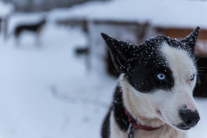 Guide Tromso DamienLB chiens de traîneau husky