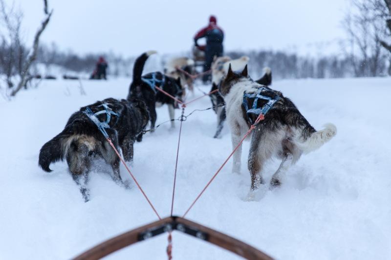Guide Tromso DamienLB attelage chiens de traîneaux